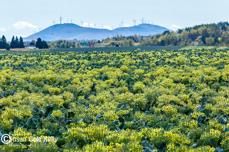 Windmills and a broccoli field  in Presque Isle, Maine, USA