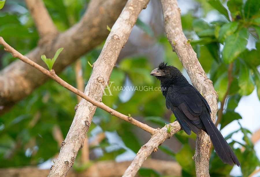 The Groove-billed ani is a common sight along Costa Rica's central Pacific coast.