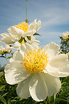Harkness Memorial State Park. White peony.