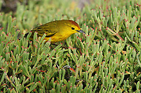 A beautiful yellow warbler eats an insect on South Plaza Island in the Galapagos.