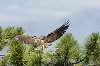 Adult Short-tailed Hawk (Buteo brachyurus) bringing prey to nest;  Arizona, (Nesting Record)