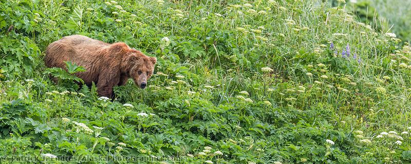 Panorama of a brown bear standing in a green meadow of wild celery, Katmai National Park, Alaska Peninsula, southwest, Alaska.
