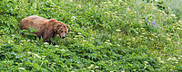 Panorama of a brown bear standing in a green meadow of wild celery, Katmai National Park, Alaska Peninsula, southwest, Alaska.