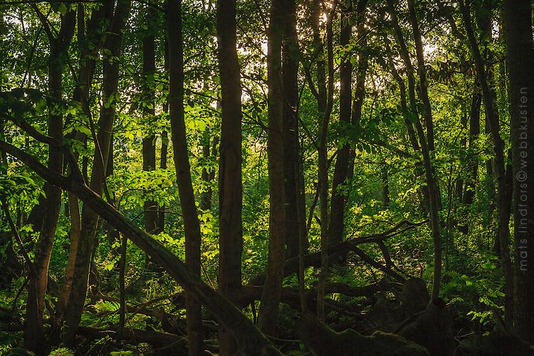 Träd i mörk tät skogi  naturreservat Käringboda Nynäshamn Stockholms skärgård.