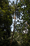 Man looking for coconuts on a coconut tree. Canyon of Boca de Yumuri east of Baracoa