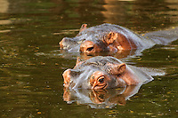 Stock photo of a pair of Hippos or Hippopotamus strolling <br />