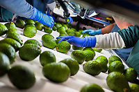 Hands of Colombian workers are seen inspecting avocados moving along a conveyor belt at a processing plant in Sonsón, Antioquia department, Colombia, 22 October 2019. Over the past decade, the Colombian avocado industry has experienced massive growth, both as a result of general economic development in Colombia, and the increased global demand for so-called superfood products. The geographical and climate conditions in Antioquia (high altitude, no seasonal extremes, high precipitation rate) allow two harvest windows of the Hass avocado variety across the year. Although the majority of the Colombian avocado exports are destined towards Europe now, Colombia aspires to become one of the major avocado suppliers to the U.S. market in the near future.