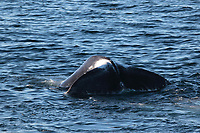 Bowhead whale,  Balaena mysticetus, Male lifting tail to dive. Critically endangered Barents sea population. Barents sea / Arctic Ocean, Franz Josefs Land, Russia