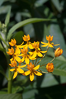 Asclepias 'Hello Yellow' butterfly weed in yellow flowers