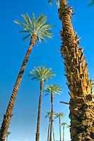 Palm Desert; Ca;, palm tree, palm family, Arecales, Fan Palm, American Cotton palm, Arizona Fan Palm,