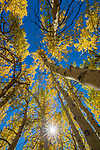 Aspens, Inyo County, California, USA