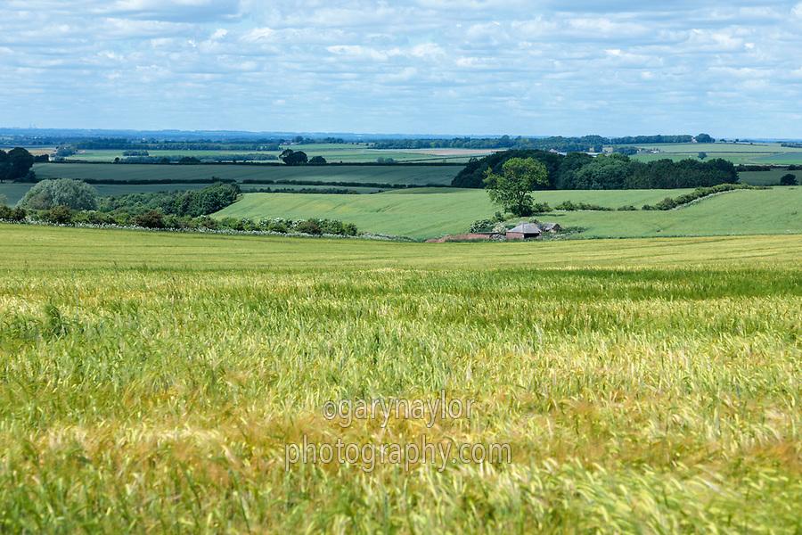 Winter Barley in ear -  Lincolnshire, June