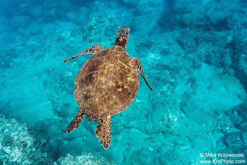 Hawaiian green sea turtle (honu) swimming underwater at Shark's Cove, North Shore, Oahu, Hawaii