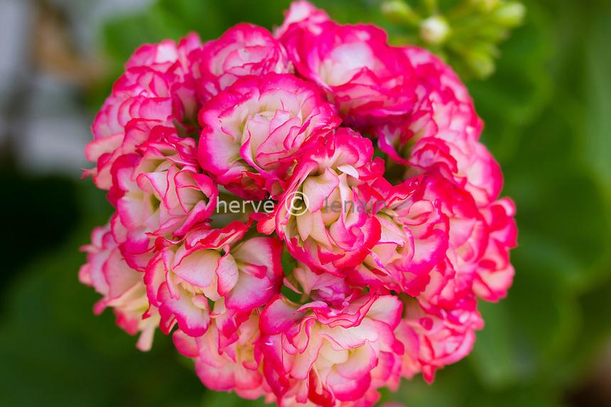 Pelargonium 'Apple Blossom'