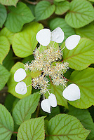 Schizophragma hydrangeoides 'Moonlight' in flower