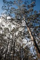 Eucalyptus trees, Galicia region of Spain near Vigo.....Copyright..John Eveson,.Dinkling Green Farm,.Whitewell,.Clitheroe,.Lancashire..BB7 3BN.Tel. 01995 61280.Mobile 07973 482705.j.r.eveson@btinternet.com.www.johneveson.com