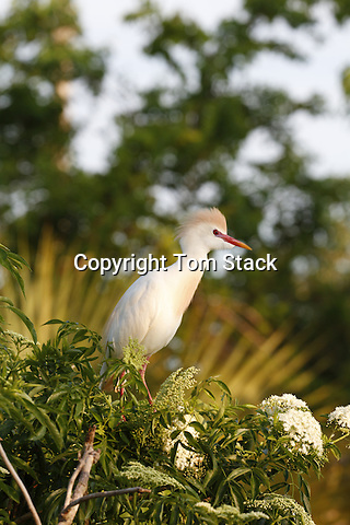 A Cattle Egret, Bubulcus ibis, in breedling plumage