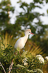 A Cattle Egret, Bubulcus ibis, in breedling plumage