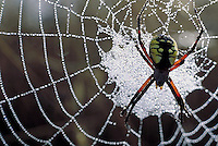 Spider on web coated with morning dew drops.
