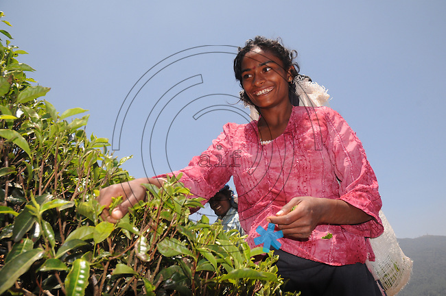 Severani the twenty year old woman at her work, in Nuwara Eliya Sri Lanka, to tea leaf collecting for tea farmers and digestion.(Photo.:Stefan Nobel-Heise)......Tee,leaf, tea, bush,nature, Natur, Landwirtschaft  Hochland Sri Lanka Teeplantage, Tea Ground, diggest, colection,gathering, Mountains Woman, Worker, Field,Sommer, Travel, reisen, Buisne tea affair, indian ocean, ..Subtropen,