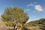 Israel, Jerusalem Mountains. A Pine tree on Har Haruach (Mount Haruach)