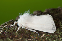 Goldafter, Dunkler Goldafter, Euproctis chrysorrhoea, brown-tail, browntail moth, Lymantriinae, Trägspinner, Schadspinner, Noctuidae, Eulenfalter