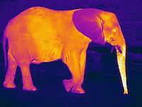 Thermogram of an elephant.  The different colors represent different temperatures on the object. The lightest colors are the hottest temperatures, while the darker colors represent a cooler temperature.  Thermography uses special cameras that can detect light in the far-infrared range of the electromagnetic spectrum (900?14,000 nanometers or 0.9?14 µm) and creates an  image of the objects temperature..