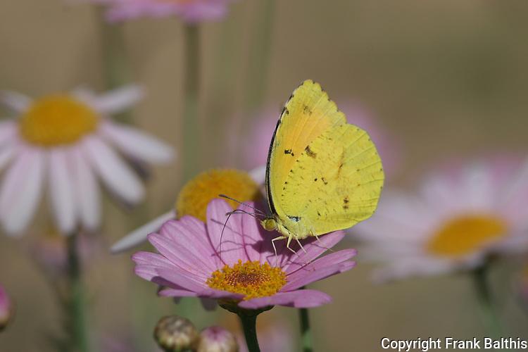 Cloudless sulphur butterfly, Phoebis sennae