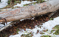 Caches of pinecones can feed the American red squirrel through winter.