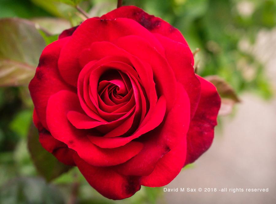 6.4.17 - Neighbor's Rose...
