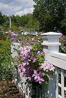 Clematis on white fence, pink flowering perennial climbing vine