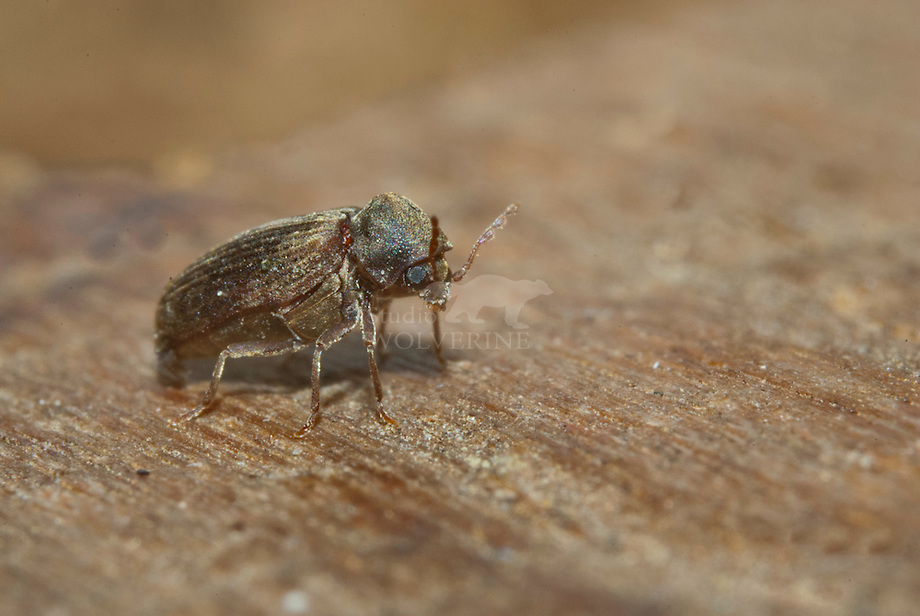 Gewone houtwormkever (Anobium punctatum)