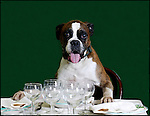 Cane a tavola ,Dog with table set..