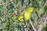 Yellow Warbler perched amongst some greenery