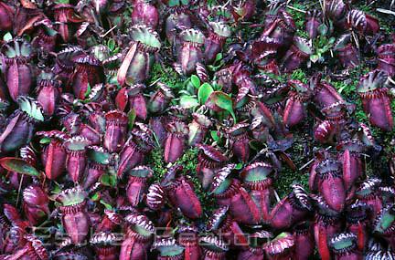 Albany Pitcher Plant (Cephalotus follicularis) Walpole-Nornalup National Park, Western Australia