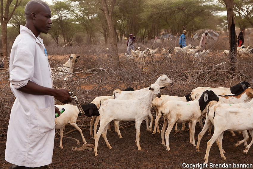 Livestock immunization in Alinjugur, Kenya near the Dadaab refugee camp complex. Local animals, stressed by drought conditions are immunized against PPR and CCPP. They are also dewormed and given a pour on tick control.