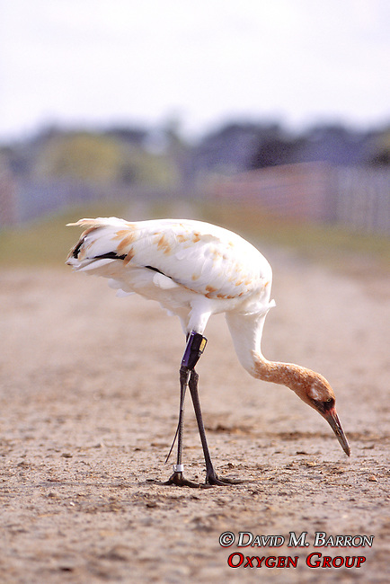 Whooping Crane With Radio Transmitter Foraging