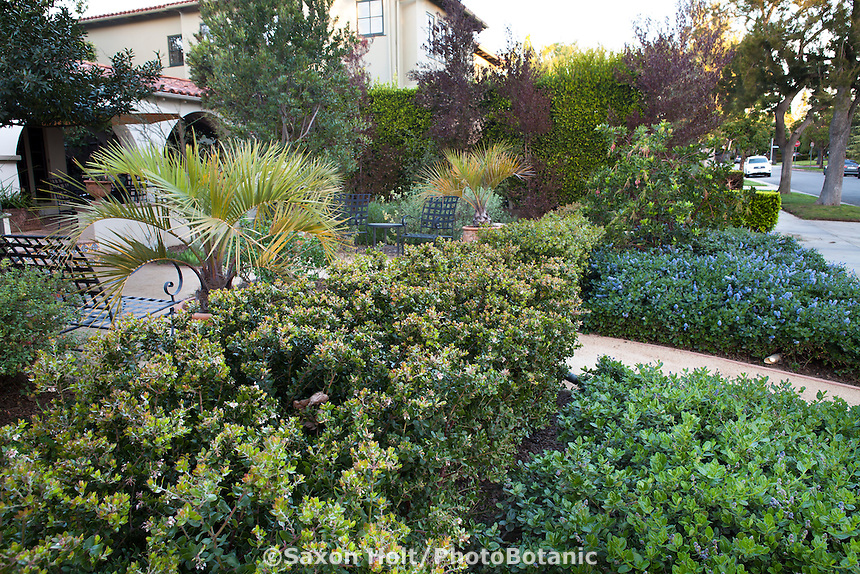 Manzanita hedge (Arctostaphylos) between patio and Ceanothus groundcovers for front yard entry into drought tolerant Southern California native plant garden; design Stephanie Wilson Blanc