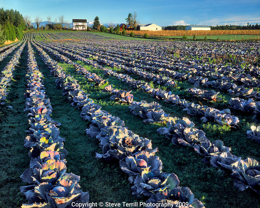Cabbage field near Sandy, Oregon in Clackamas County