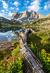 Wind River Range, WY: Flowering groundsel, monkeyflower and asters alongside fallen log at Lonesome Lake with morning light on Warrior Peaks and War Bonnet in the Cirque of the Towers; Popo Agie Wilderness in the Bridger National Forest