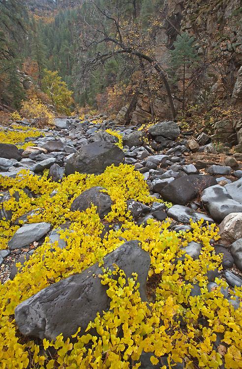 Canyon grape (Vitis arizonica) in autumn in Pumphouse Wash, Arizona