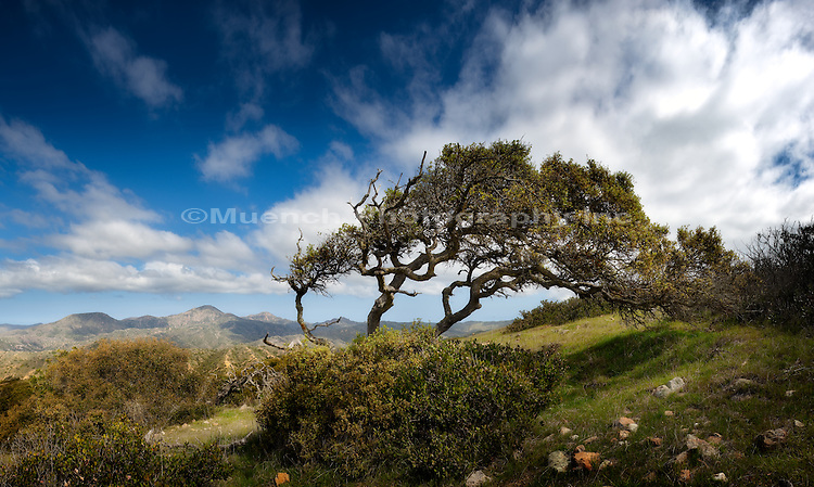 Oak woodland, Catalina Island, California