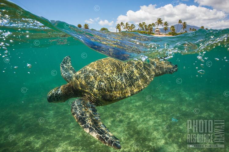 Green sea turtle swimming off the coast of Oahu's North Shore