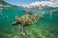 Green sea turtle swimming off the coast of Oahu's North Shore
