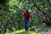 Lamar Benton of Powhatan, Virginia walks through the Carters Mountian Peach orchard Tuesday in Charlottesville, Va. The orchard is open to the public where individuals can hand pick several varieties of peaches.