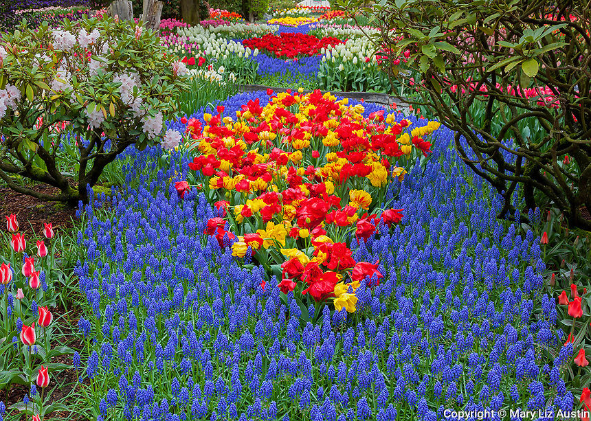 Skagit County, WA: Assorted varieties of flowering tulips and grape hyacinths form colorful patterns with rhododendrons in the RoozenGaarde garden.