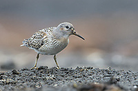 Juvenile Rock Sandpiper (Calidris ptilocnemis ptilocnemis) of the Pribilof Island race in breeding plumage. St. George Island, Alaska. July.