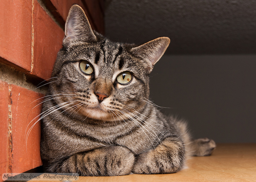 Kira, a brown tabby, relaxing on a shelf next to a brick wall.  I love how she looks mildly inquirous while also looking serenly peaceful and comfortable.  She's also got her paws cutely folded up underneath her.  How cat like!