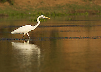Egret stalking a fish in the Chongwe River, Zambia Africa.