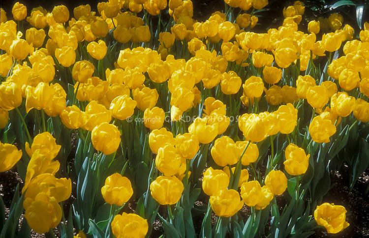 Tulipa Golden Melody spring bulbs